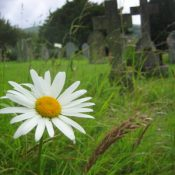 flower in graveyard